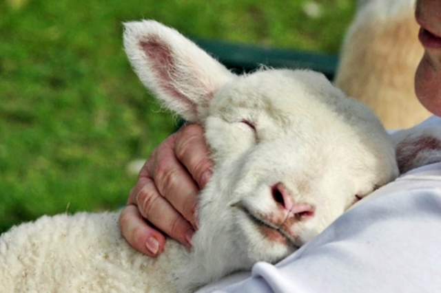 shepherd-and-lamb-pic2